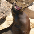 Sea lion with the mouth open — Stock Photo