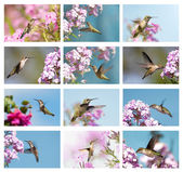 Hummingbirds collage. — Stock Photo