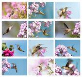 Kolaż kolibry. — Zdjęcie stockowe