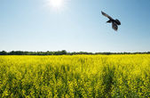 Raven over canola field in the sun, wide angle. — Stock Photo