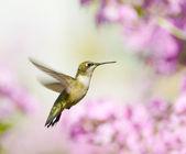 Kobieta ruby throated hummingbird w ruchu. — Zdjęcie stockowe