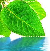 Green leaves over water — Stock Photo