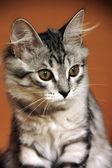 Grey fluffy kitten — Stock Photo