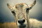 山羊肖像 — 图库照片