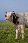 Vaca tonta — Foto de Stock