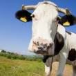Cow close up — Stock Photo