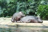 Two sleeping hippopotamus — Stock Photo