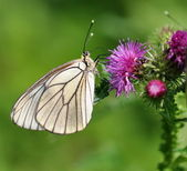 White butterfly on purple flowers — Stock Photo