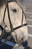 Cavalo cinza — Fotografia Stock