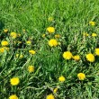 Foto Stock: Dandelion flowers on green grass