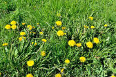Dandelion flowers on green grass — Stock Photo
