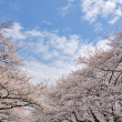 Beautiful sakura tree — Stock Photo