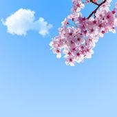 Sakura againt blue sky — Stock Photo