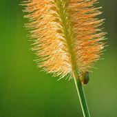 Kleine bug op gras bloem — Stockfoto