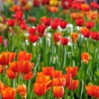 Spring field with colorful tulips - Stock Photo