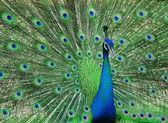 Nice peacock — Stock Photo