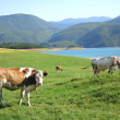 Cows in the beautiful meadow - Stock Photo