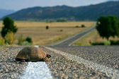 Turtle on the road — Stock Photo