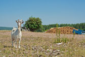 Goat on a village in Tatarstan — Stock Photo
