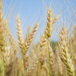 In a wheat field — Stock Photo