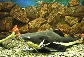Sheatfish (lat. Phractocephalus hioliopterus) — Stock Photo