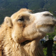 Head of camel - Stock Photo