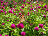 Brown butterfly on purple flowers — Stock Photo
