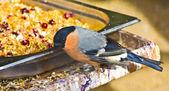 Bullfinch (Pyrrhula) — Stock Photo