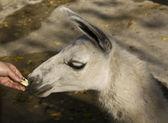 Lama besleme — Stok fotoğraf