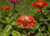 Brimstone butterfly on dahlia — Stock Photo
