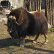 Royalty-Free Stock Photo: Musk ox