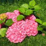 Pink hydrangea — Stock Photo #6506261