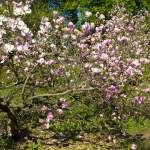 ������, ������: Pink magnolia