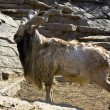 Goat markhor — Stock Photo
