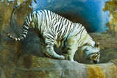 Bílý tygr bengálský — Stock fotografie