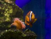 Tomato clownfish (Amphiprion frenatus) — Stok fotoğraf