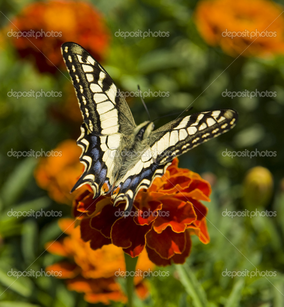 Butterfly Papilio machaon on marigold flower. — Stock Photo #6507746
