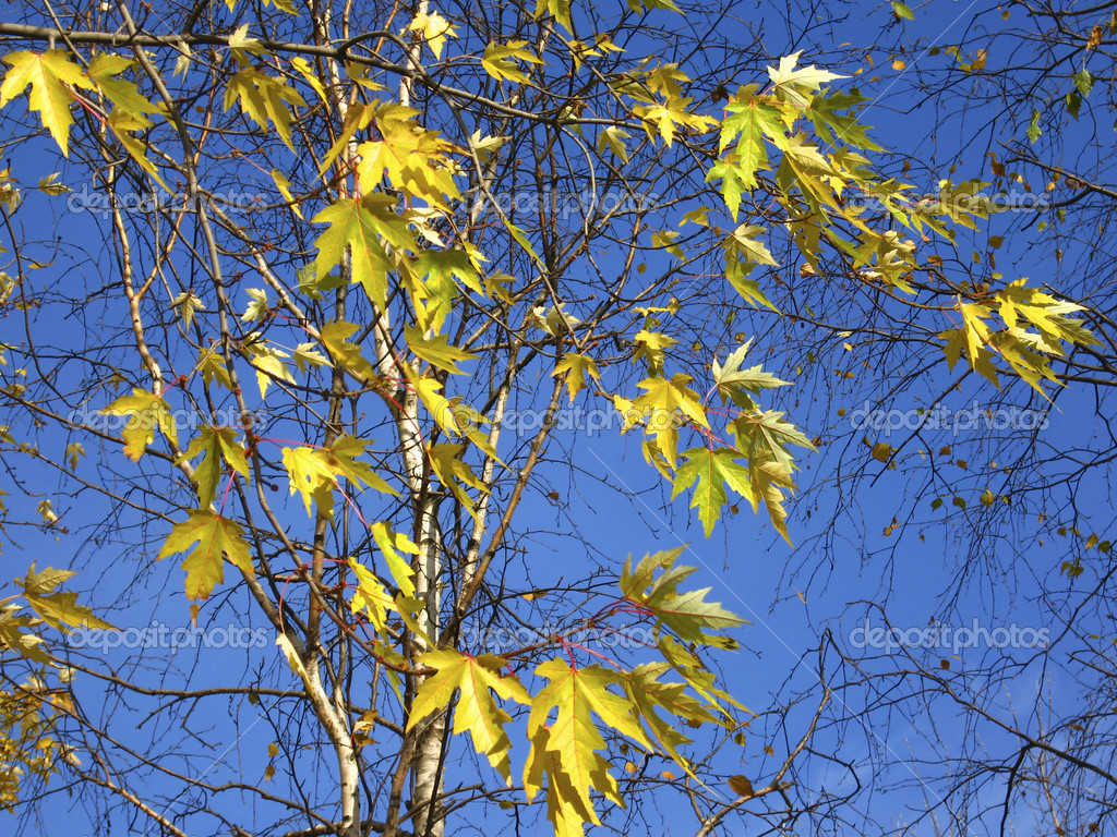 Autum landscape - yellow maple leaves on blue sky.  Stock Photo #6507755