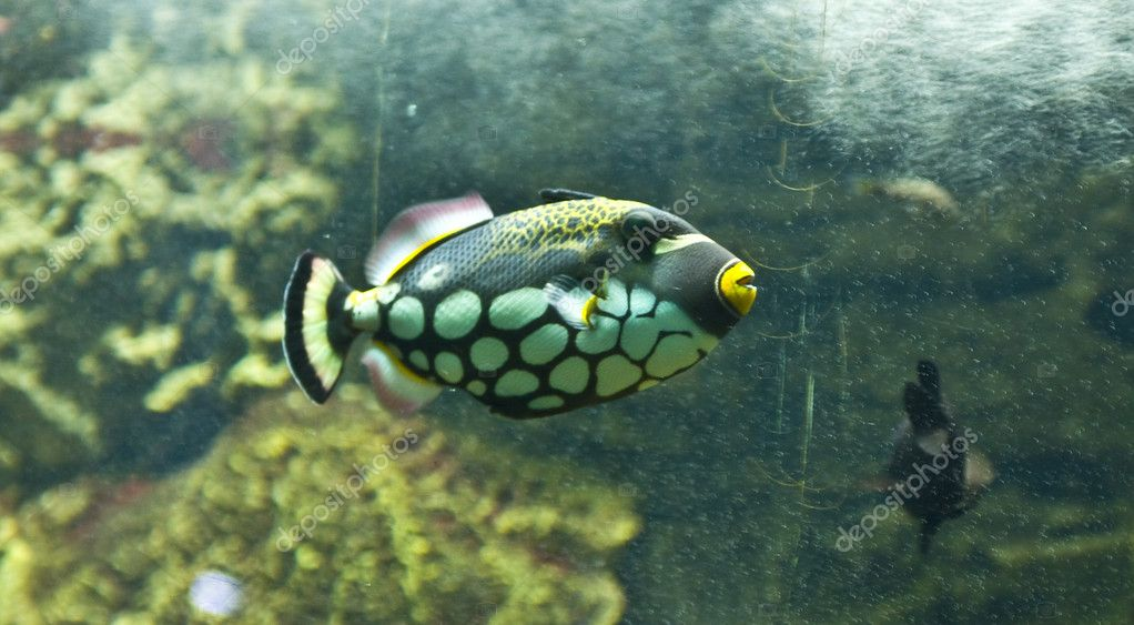 Tropical fish clown triggerfish (Valistes conspicillum), lives in Indian ocean, recorded in aquarium in town Sevastopol, Crimea. — Stock Photo #6507775
