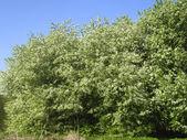 árvore de pássaro cereja em flor — Foto Stock