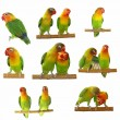 Set lovebirds agapornis-fischeri isolated on white - Stock Photo