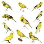 Set Yellow canary Serinus canaria isolated on white background — Stock Photo