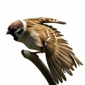 Tree Sparrow stretched wing isolated on white, Passer montanus — Zdjęcie stockowe