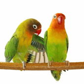 Lovebirds isolated on white Agapornis fischeri — Stock Photo
