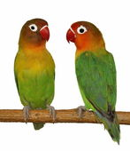Lovebird isolated on white Agapornis fischeri — Stock Photo