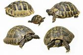 Set Herman Tortoise turtle isolated on white background testudo hermanni — Stock Photo