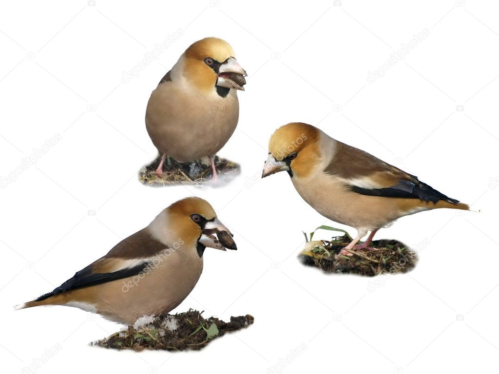 Hawfinch on snow, Coccothraustes coccothraustes — Stock Photo