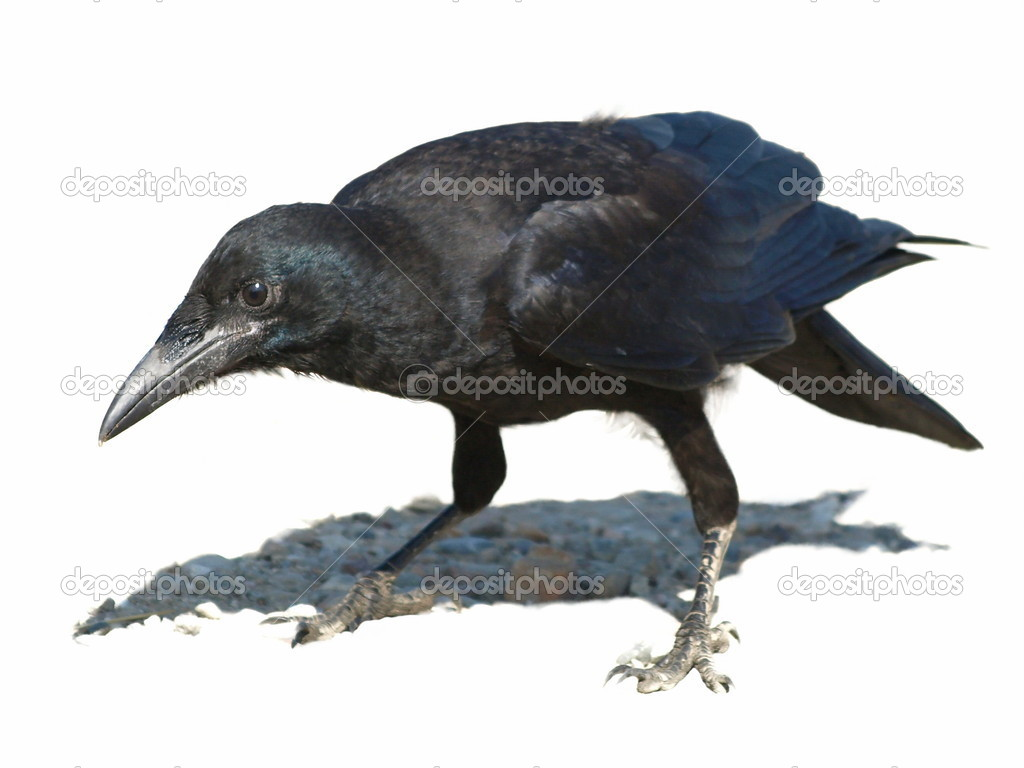 Rook isolated on white background Corvus frugilegus — Stock Photo #5404513