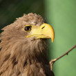 White tailed Eagle, haliaeetus albicilla — Stock Photo