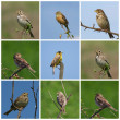Collage Buntings, Corn Bunting, Black headed Bunting, Ortolan Bunting — Stock Photo